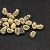 Kurrajong Brachychiton populneus dusted with sulphur