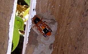 predatory Large mud-nest wasp, Abispa ephippium