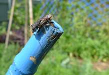 Leafcutter bee, Megachile sp., building a nest chamber inside a hollow bamboo cane before laying an egg