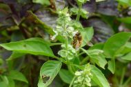 Honeybee visits Lemon basil, Ocimum x citriodorum