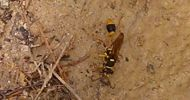 Mud-dauber wasp, Tachytes australis, parasitises other mud dauber wasp species