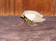 Mud-dauber wasp, Tachytes australis, parasitises other mud dauber wasp species