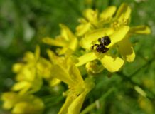 unknown native bee on mizuna