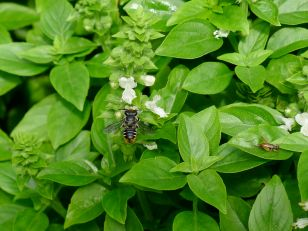 Species 543: Native leaf-cutter bee, Megachile ignescens (male), Greek basil and cricket.