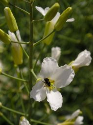 Native stingless bee, Tetragonula carbonaria, on cabbage flower