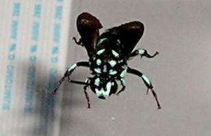 Neon cuckoo bee, Thyreus nitidulus, a parasite of other native bee species