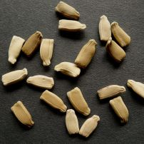 New Guinea bean, Lagenaria siceraria 'Cucuzzi'