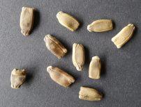 New Guinea bean, Lagenaria siceraria