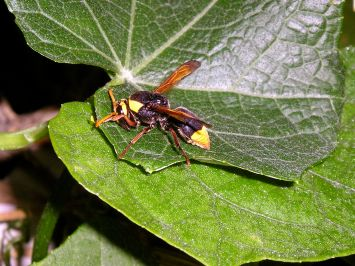 unknown predatory wasp (body length 20mm long) on choko