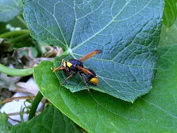 unknown predatory wasp (body length 20mm long), on choko
