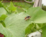 predatory Orange spider wasp, Cryptocheilus sp., on choko
