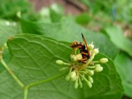 predatory Orange spider wasp, Priocnemis bicolor, drinks from the very first flowers produced by a young Cissus rotundifolia