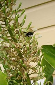 Great carpenter bee, Xylocopa aruana, on galangal