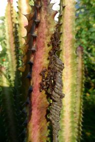parasitoid Paper wasp, Ropalidia revolutionalis, on Euphorbia trigona