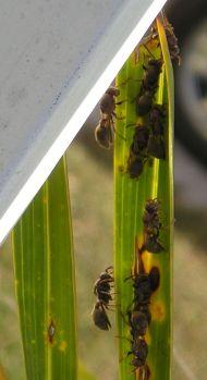 parasitoid Paper wasp, Ropalidia revolutionalis, on Hyophorbe verschaffeltii