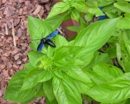 parasitoid Black hairy flower wasp, Scolia soror, resting on basil