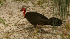 Australian Scrub Turkey, (Alectura lathami)