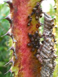 Semi-dormant paper wasps, Ropalidia revolutionalis, a parasitoid species