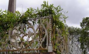 Monkey vine growing at Toowong cemetery, Brisbane