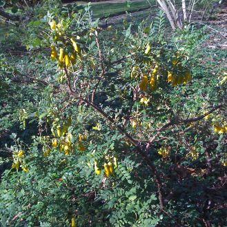 Sophora toromiro flowers - 1