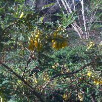 Sophora toromiro flowers - 2