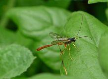 Species 367 found at Bellis: Two-toned caterpillar parasite wasp, Heteropelma scaposum