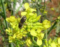 Species 394: Halictid bee, Lasioglossum chapmani