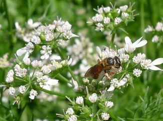 Species 418 Halictid bee, Parasphecodes leichardti