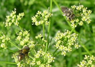 Species 459, Halictid bee, Austronomia flavoviridis