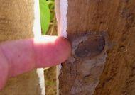 parasitoid Sphecid wasp nest
