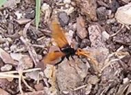 Spider Wasp, Cryptocheilus bicolor