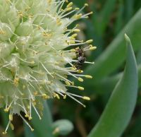 Stingless bee, Tetragonula sp.