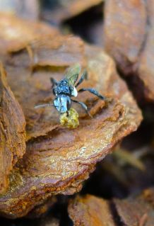 stingless bee house keeping (Tetragonula carbonaria)