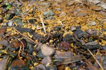 stingless bees house keeping (Tetragonula carbonaria)