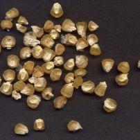 Sweetcorn, Golden Bantam
