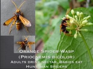 Orange Spider wasp, Priocnemis bicolor