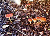 toadstool fungus on pinebark