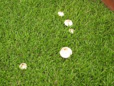 toadstools in lawn - 1