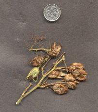 Tobacco, Nicotiana tabacum