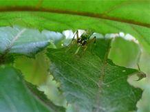 unknown parasitoid (Ichneumonid?) wasp on Davidsonia pruriens