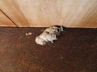 Unknown parasitoid mud dauber wasp nest