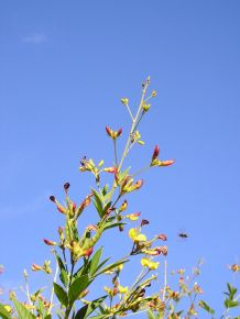 unknown wasp on pigeon pea