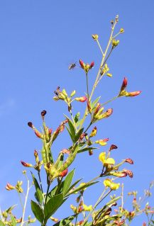 unknown parasitoid wasp on pigeon pea