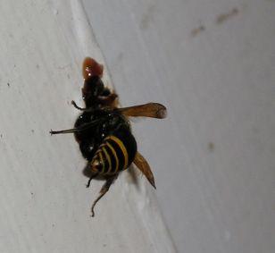 Parasitoid wasp making nest tube in kitchen window