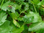 Wasp-mimicking hoverfly, Mesembrius sp. on celery. Larvae predate aphis
