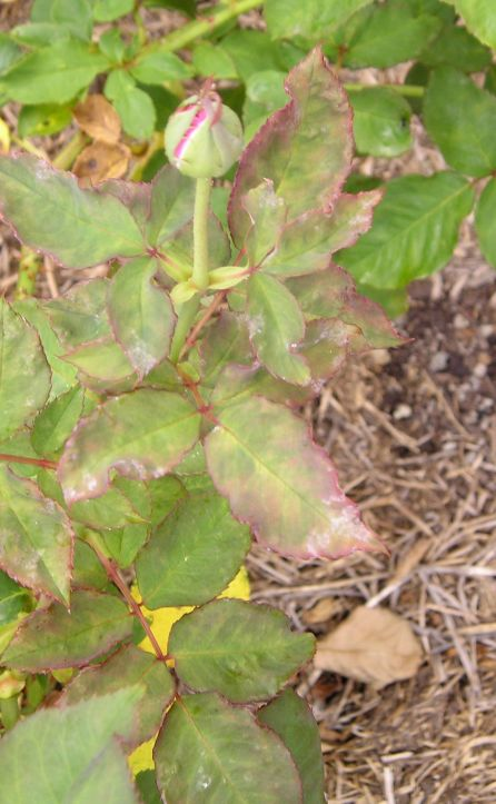 Powdery mildew, Oidium sp. Sydney Botanic gardens