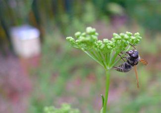 Black flower wasp, Epactiothynnus sp. (males have wings)