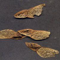 Xylomelum angustifolium