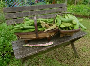 12kg sword beans (Canavalia gladiata) from three plants