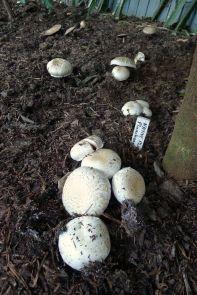 Mushroom, Agaricus bisporus